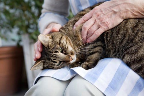 Treating arthritis in cats with stem cells