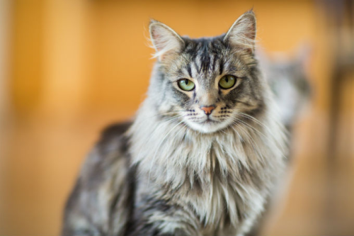 Successfully treating cardiomyopathy in cats with stem cell therapy