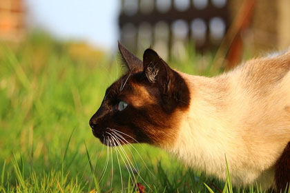 Treating kidney disease in cats with stem cells