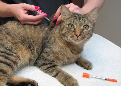 Treating diabetes in cats with stem cells