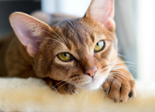 Treating inflammatory bowel disease in cats with stem cells