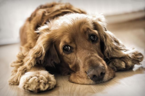 Dog showing signs of lethargy from IMHA