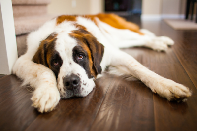Successfully treating cardiomyopathy in dogs with stem cell therapy
