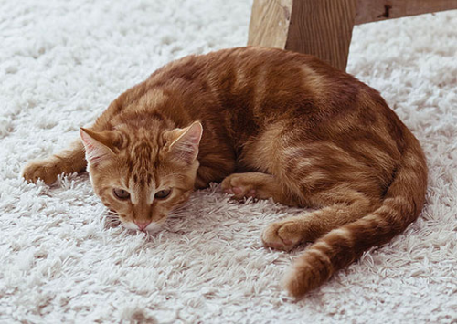 Treating asthma in cats with stem cells